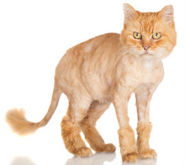 Most cats hate lion cuts.
