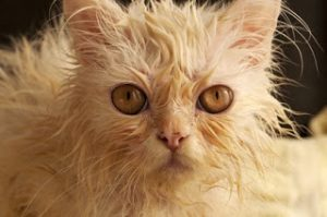 Most cats hate getting wet.
