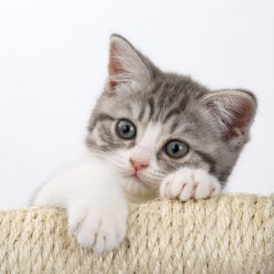 Should you get a kitten as a playmate for your adult cat?