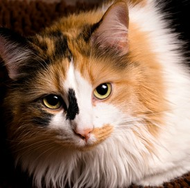 Thomasina, a long-haired calico with attitude